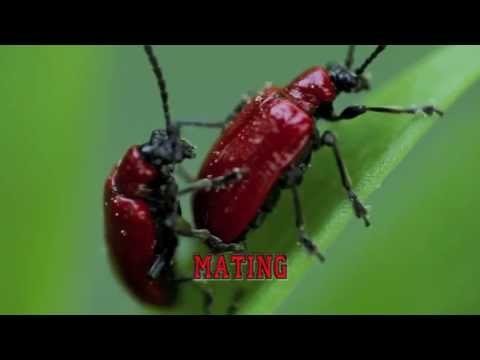 Red Lily Beetles Mating :Macro Photography