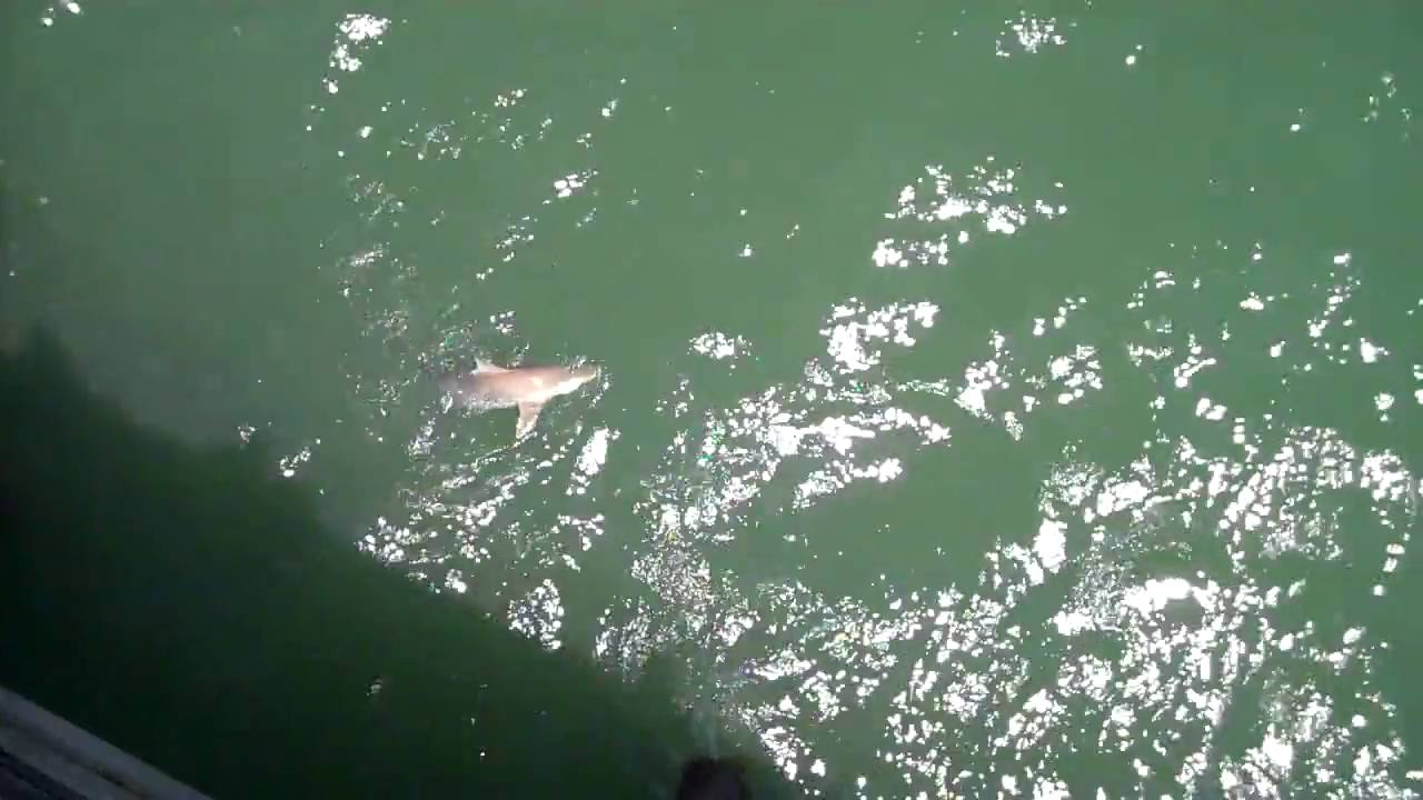 Shark fishing in myrtle beach youtube for Shark fishing myrtle beach