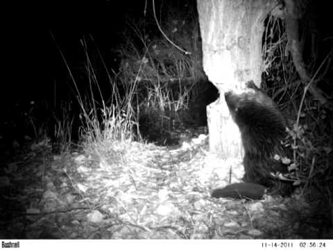 Beaver Felling Tree