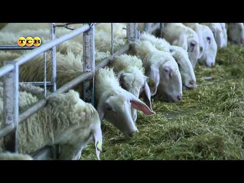 Как поживают испанские овцы на ферме в Мочаровке