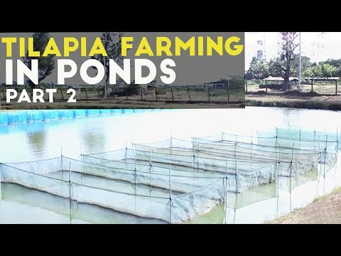 Tilapia Grow Out In Ponds   Season 2 Episode 2 Part 2