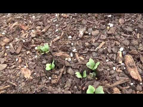 Download  Geothermal Greenhouse Check-Up: Winter Crop Update - Food Is Free If You Grow It! Gratis, download lagu terbaru