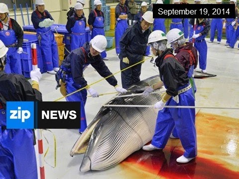 Japanese Whaling To Begin In Antarctica - Sep 19, 2014