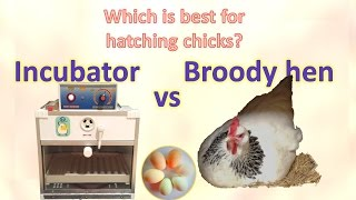 Incubator vs hen - which is best for hatching chicks?
