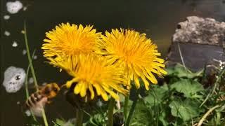 Karahindiba Bitkisinin Faydaları, Ne İşe Yarar? Diğer Adı Nedir?