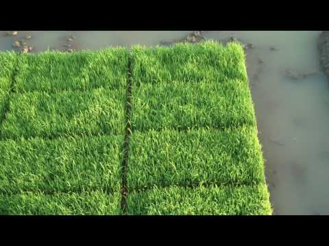 Korea Rice Field Preparation - Seedling Growth