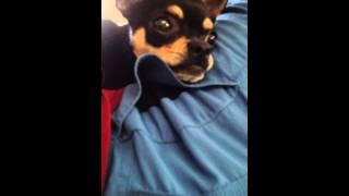Angry Chihuahua