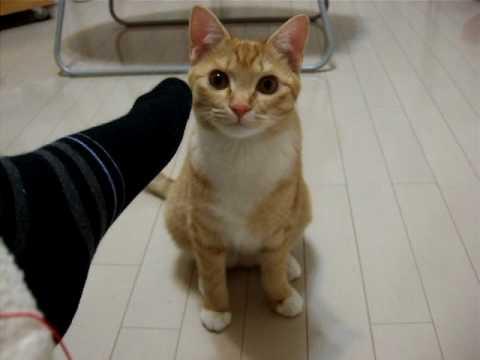おもしろ動物 感想を言う猫 こむぎ meow cute cat