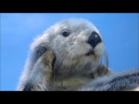 ラッコのミール、お耳をくりくり♪(20150428@サンシャイン水族館)