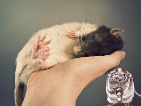 Как приручить крысёнка к рукам (декоративные крысы)