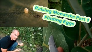 Raising Monarchs Part 1 - Finding Eggs (How To Find Monarch Butterfly Eggs)