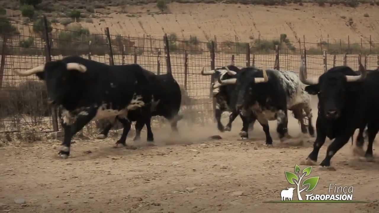 Finca Toropasi 243 N La Emoci 243 N Del Toro Bravo Y El Caballo