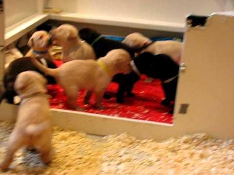 Lab Puppies Chocolate Yellow Black Labrador Retrievers 3 weeks 6 days old