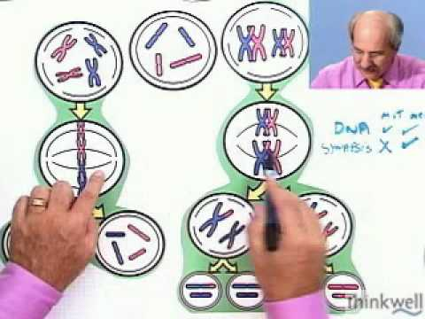 Mitosis Vs. Meiosis From Thinkwell's Video Biology Course video