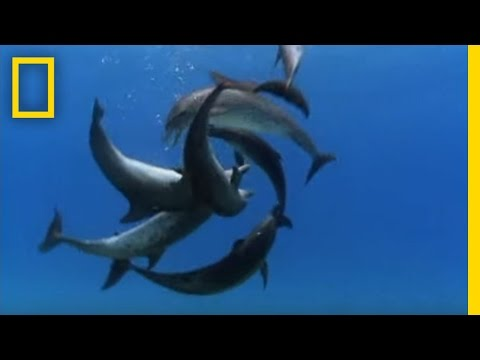 Bottlenose Dolphin Gang Rumble Video
