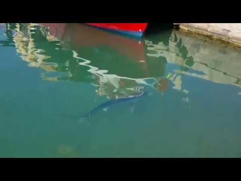 Vinaròs News, tintorera al port 2, 7-6-15