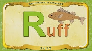 Multipedia of Animals -  Letter R -  Ruff