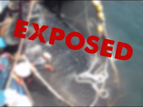 Greenpeace SHOCKING undercover video: dirty tuna fishing