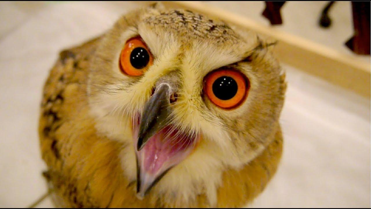 フクロウの画像 p1_33