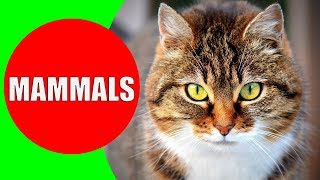 MAMMALS Names and Sounds for Kids to Learn | Learning Mammals for Kindergarten, School, Children