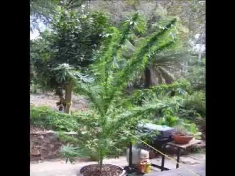 MARIJUANA PLANT OUTDOOR VIDEO COLOMBIA 12FT Video
