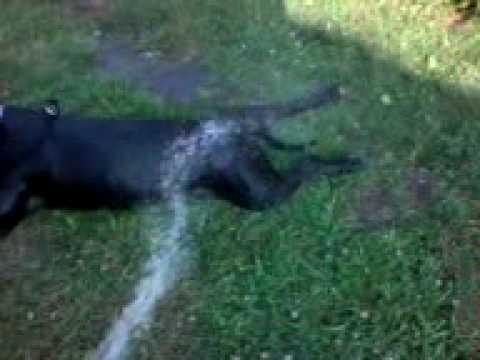 pit bull terrier crack lazul