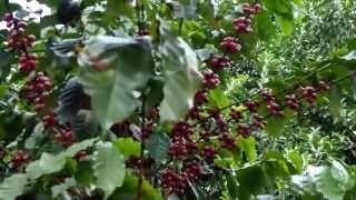 Planta de café con granos - Detalles del árbol