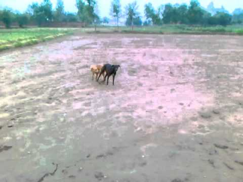 Dog To Dogi  Sexy Video.mp4 video
