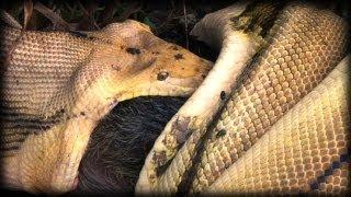 Python kills Pig 09 - Music