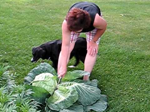 Harvesting Cabbage