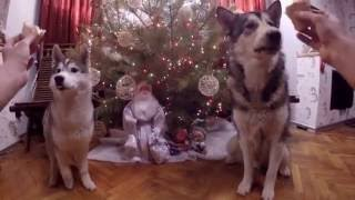 Новогоднее лакомство для хасёнка и маламутика / New Year delicasy for small husky and malamute