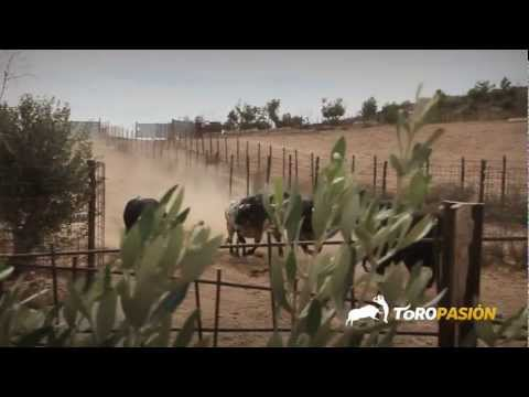 Toropasión - Toros de Palha, Miura, Cebada para la Feria del Pilar de Zaragoza 2012