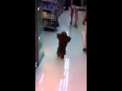 İki ayak üzerinde yürüyen köpek