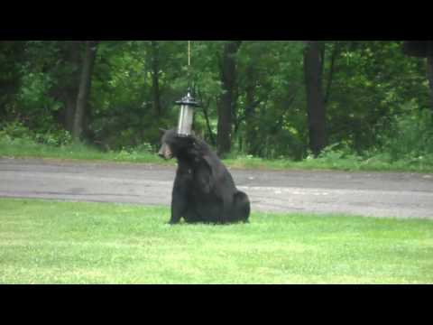 Momma Black Bear licking Sunflower seeds from feeder