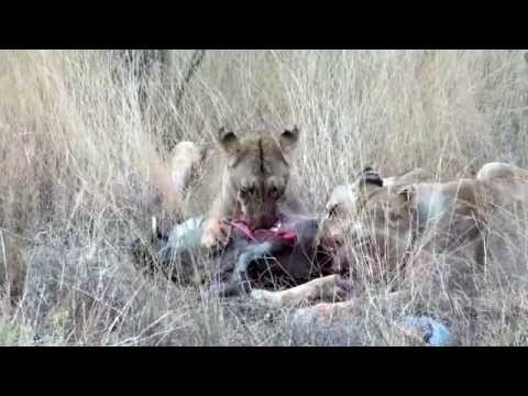 Lions feeding on a Warthog (not for sensitive viewers)