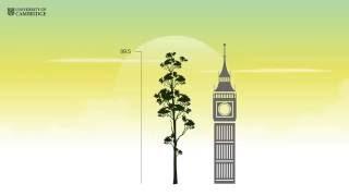 Ambiente: Scoperto in Malesia l'albero più alto dei Tropici