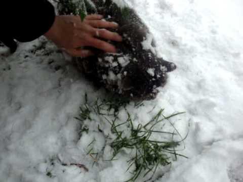 Gatto Delle Gatto Delle Nevi