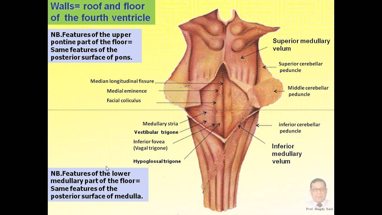 Floor Of 4th Ventricle Of Magdy Said Anatomy Series Neuroanatomy 5 Fourth Ventricle