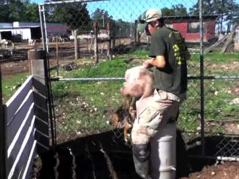 Pig Castration - Warning: Graphic Content video