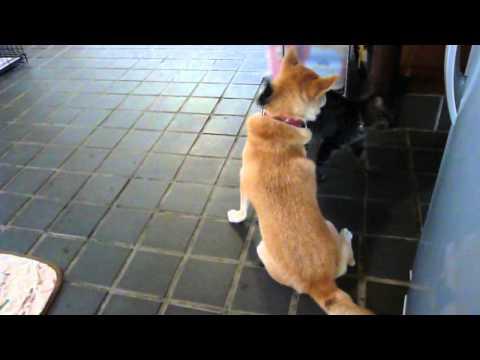 ママだと思ってる柴犬から離れない猫 shibainu cat