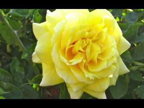 NATURE! FLOWERS, ROSES, BEAUTIFUL LANDSCAPES, WONDERFUL MUSIC