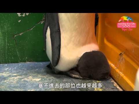 台綜-圓仔日記-EP 306 國王企鵝旋風式成長-爸媽避風港回不去了