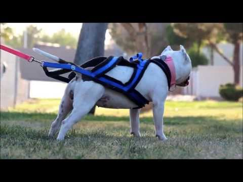 American Bully and Weight Pull Harness
