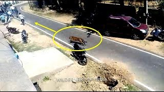Leopard Attack Human - Alwar City