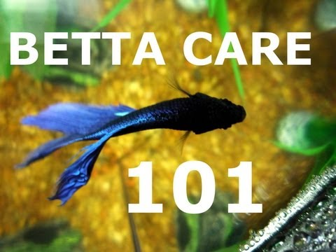 How long do betta fish live at thedoglogs for How long can a betta fish live