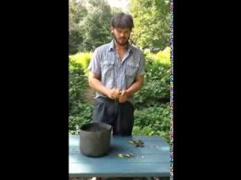 Direct planting of freshly harvested tree peony seeds