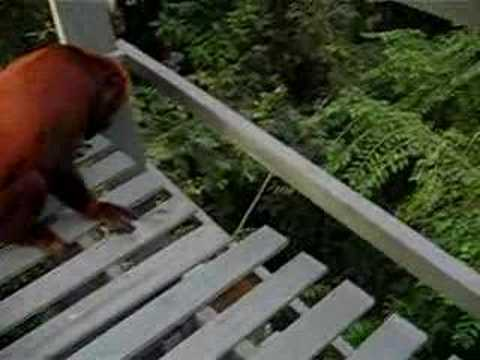 Howler vs Squirrel Monkeys Video