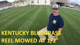 1/2 Inch KENTUCKY BLUEGRASS. Reel Mower