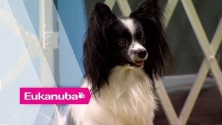 Masher the Papillion at an Agility Competition - Part 1   Extraordinary Dogs