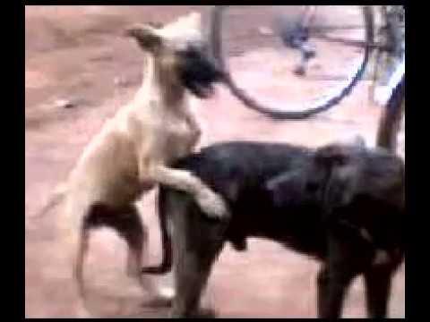 cachorro estrupador